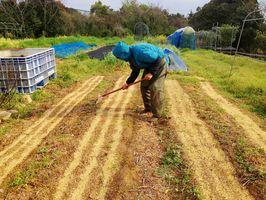 発芽したニンジン畑の除草作業