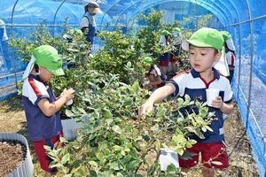 紫に色づいたブルーベリーを収穫する園児たち=みやき町の原種苗園