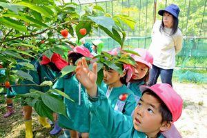 真っ赤に熟したサクランボに手を伸ばすすみれ幼稚園の園児=唐津市山田の果樹園