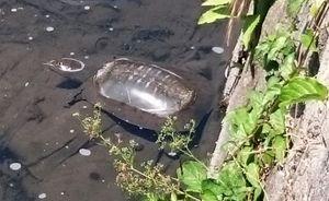 水路で見つけたスッポン