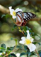 【動画】深まる秋に「旅するチョウ」 アサギマダラ、吉野ヶ…