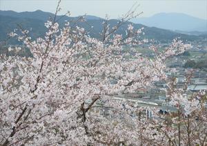 展望台から見下ろす桜。右下は九州新幹線の新鳥栖駅=鳥栖市の朝日山公園