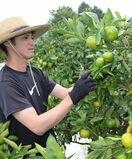 極早生ミカン収穫始まる 太良町、8月好天で「糖度順調」