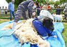 すっきり! 羊の毛刈り どんぐり村(佐賀市三瀬村)