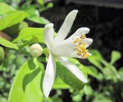初夏の風に誘われて花を咲かせたレモン