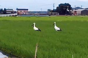 水田に飛来したコウノトリ2羽=佐賀市東与賀町(提供写真)