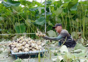 ハウス内で大きく成長したレンコンを収穫する田中昭弘さん=杵島郡白石町