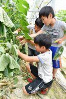 食育活動の一環で、キュウリを収穫する大川小3年の児童たち=伊万里市大川町(23日付18面)