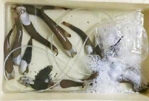 有明海の二枚貝「ウミタケ」(県水産課提供)