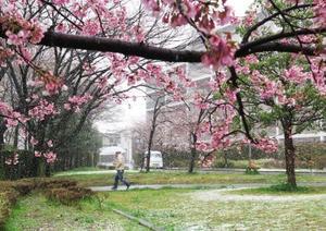 桜咲く公園に舞う雪=21日午後、東京都調布市