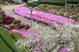 宮田さん夫妻が造ったシャクナゲ園で見頃を迎えたシバザクラ=嬉野市嬉野町不動山