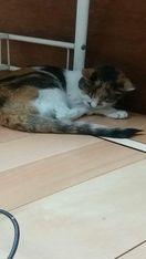 雑種成猫(白黒茶三毛・性別不明)を保護