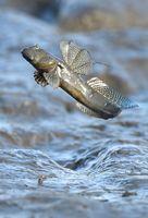 空の青が映り込む干潟で跳びはねるムツゴロウ=10日午後、佐賀県小城市芦刈町の六角川河口