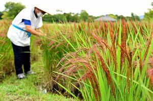 穂先が赤く色づき、こうべを垂れる赤米の「つくし赤もち」=神埼市郡の吉野ケ里歴史公園