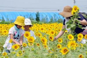 ヒマワリを摘み取る来場者=佐賀市兵庫町のひょうたん島公園西側