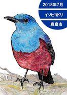 探鳥日記 イソヒヨドリ