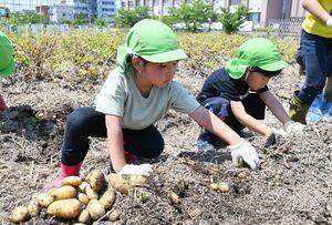 ジャガイモを収穫する園児たち=佐賀市の佐賀女子短大食農教育実習菜園