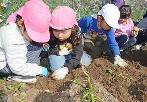 土を掘ってジャガイモを探す園児たち=有田町南山の畑