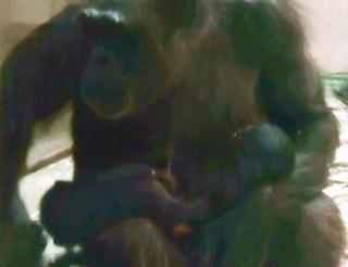 双子のチンパンジー誕生、名古屋