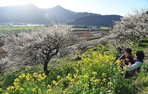 斜面に沿って咲き競う梅と菜の花。ほのかな香りが漂う中腹で、一休みする家族連れ=小城市小城町の牛尾梅林