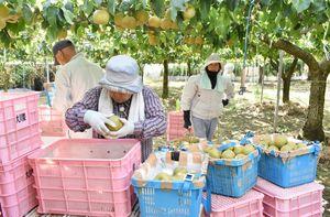 伊万里市のナシ農園では、台風12号の接近に備えて収穫を前倒しした=28日午後5時、同市大川町