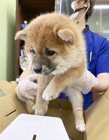 ペットオークションの前に獣医師の検査を受ける子犬=3月、埼玉県上里町