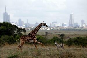 ケニア・ナイロビの国立公園に生息するキリンとシマウマ=2018年12月(ロイター=共同)