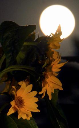 宇宙ヒマワリ照らす満月、福島