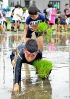 文字の形にひもで枠取られた田んぼに、ヒヨクモチの苗を植える子どもたち=上峰町
