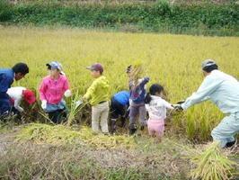 地域の大人の助けを受けながら鎌で稲を刈る子どもたち=有田町二ノ瀬地区