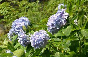 咲き誇るアジサイ