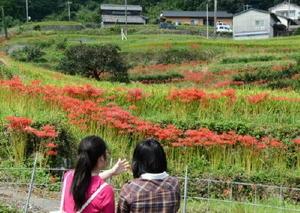 見ごろを迎えた彼岸花を楽しむ観光客=小城市小城町の江里山地区