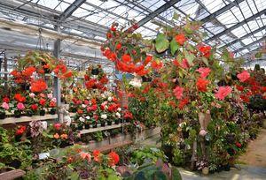 1700種約5000株のベゴニアが咲き誇るベゴニアガーデン