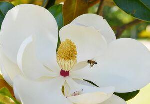 タイサンボクの大きな花の周りを飛び回るミツバチ=佐賀市の県立森林公園