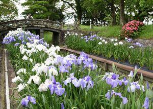 水辺に紫や白の花を咲かせているハナショウブ=佐賀市の蓮池公園