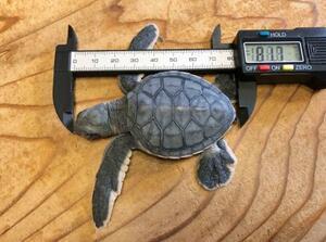 ふ化したアオウミガメの赤ちゃん=6日、浜松市(NPO法人サンクチュアリ提供)