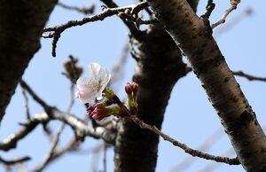 開花した佐賀地方気象台の標本木のソメイヨシノ=17日午前、佐賀市駅前中央