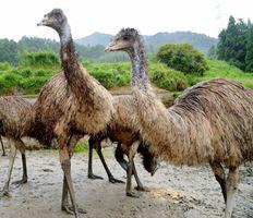 オーストラリア原産の大型鳥・エミュー(参考写真)