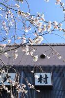 嬉野温泉旅館「大村屋」で見頃を迎える十月桜=嬉野市嬉野町