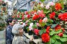 まばゆい5000株「鉢花女王」ベゴニア見ごろ 色や形、外…