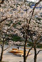 国見台公園(伊万里市) 市民の憩いの場となっている国見台公園。夕日を浴びて満開の桜が赤く染まった
