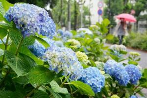 近畿、東海が梅雨入りしたとみられる16日、名古屋市内の公園で雨にぬれるアジサイ