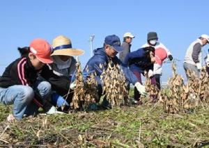 まちづくり協議会のメンバーの手ほどきで鎌を使って大豆を刈り取る子どもたち=佐賀市川副町