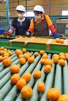 ベルトコンベヤーの上を流れるハウスミカンを選別する女性たち=唐津市浜玉町のJAからつ柑橘選果場
