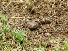 土をならす作業中に穴の中から姿を現したヒキガエル