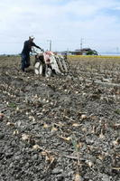 べと病で葉が立ち枯れしたタマネギ畑。わずかでも無事なものを選んで出荷したいと、生産者は祈るような思いで畑を掘り返した=5月、杵島郡白石町