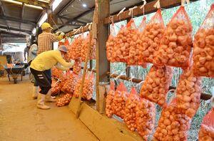 収穫したニンニクをつるす会員たち=唐津市鎮西町