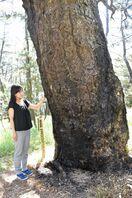 樹齢数百年「太閤松」受難、根元から2メートル焼け焦げ