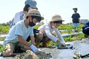 サツマイモの苗を植える子どもたち=佐賀市巨勢町