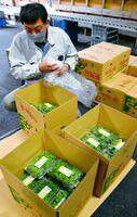 出荷が始まり、箱詰めされるプチヴェール=唐津市山本のJAからつ唐津中央営農センター